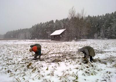 Piparjuuria nostetaan lumisella pellolla